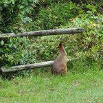 Kangaroo near walking path to Park Beach