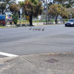 Ducks crossing the road; cars gave way