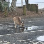 Thirsty wallaby at Woody Head