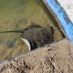 Friendly stingray in resort pool