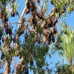 Bats roosting