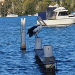 Pelican at Wyee Point Marina