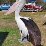 Behold the amazing pelican...
