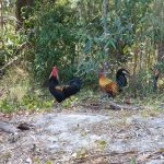 Chooks at the Pinnacles