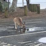 Thirsty wallaby at Woody Head