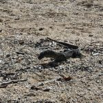 Monitor lizard on Dugong beach