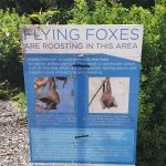 Bats (aka flying foxes) are protected